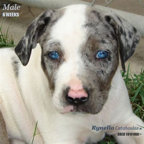 catahoula puppies for sale in louisiana nalc registered catahoula puppies