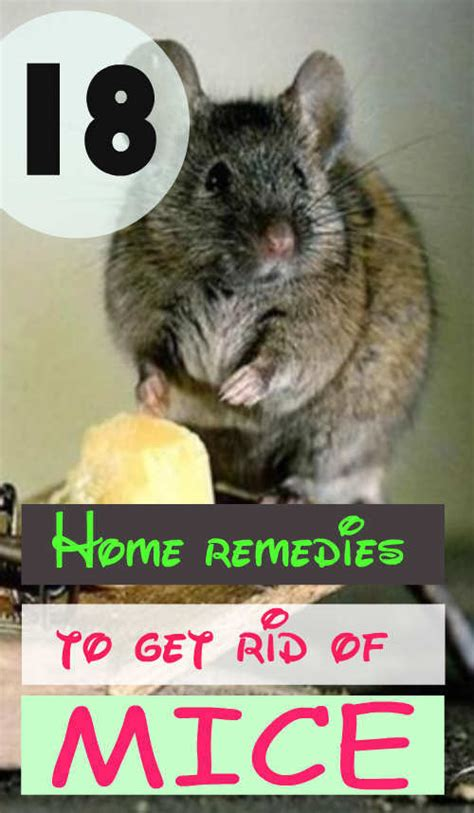 18 home remedies to get rid of mice feminiyafeminiya