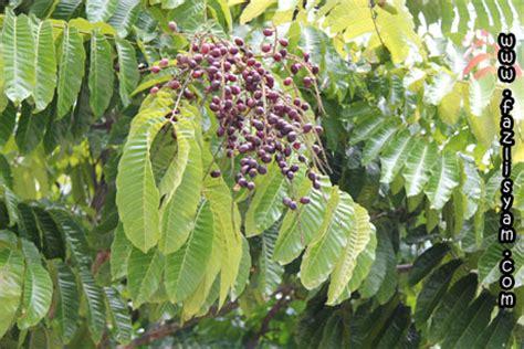 pokok kasai segalanya tentang tumbuhan