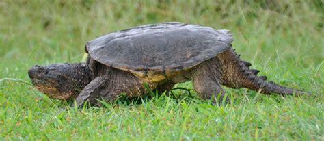 ficha de cuidados tortuga lagarto o mordedora tortuga mordedora cuidados tortuga mordedora cuidados