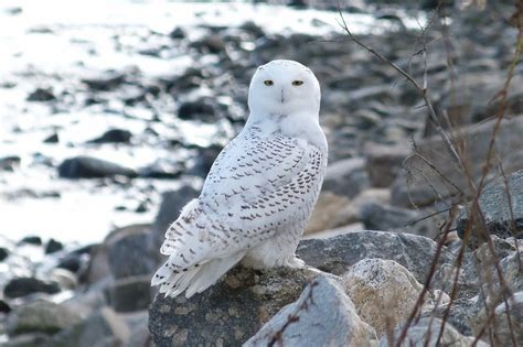 connecticut audubon society snowy owl at stratford point