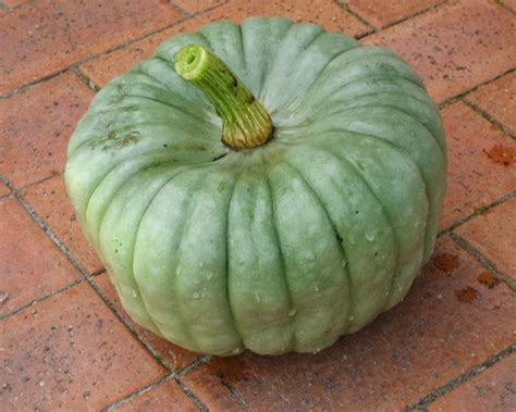queensland blue gardensonline cucurbita maxima queensland blue