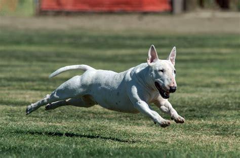 bull terrier puppies ohio bull terrier puppies for sale in ohio