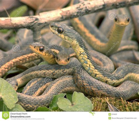 imagenes de serpientes oscuras serpientes imagen de archivo imagen de deslizadizo