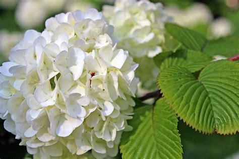 Come Coltivare L Ortensia In Vaso by Ortensia Come Coltivarla In Vaso O In Giardino Per Una