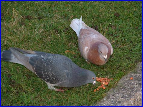what is the best food for pigeons all awesome facts for