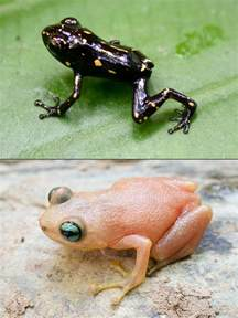 colored frogs new frog found has quot striking quot color change