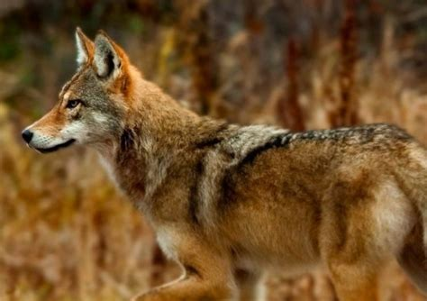 Bicycle And Square Wolvis eastern wolf facts distribution habitat diet pictures