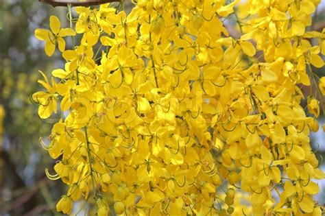 Bloomingflowers by Cassia Fistula National Flower Of Thailand Stock Photo