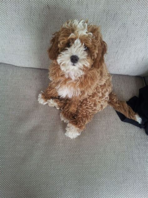 cavapoo puppies for sale florida cavapoo puppies for sale 4 boys left stockton on tees county durham pets4homes
