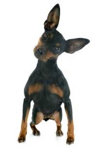 can dogs sense spirits in the house owning a mini pinscher dog care the daily puppy