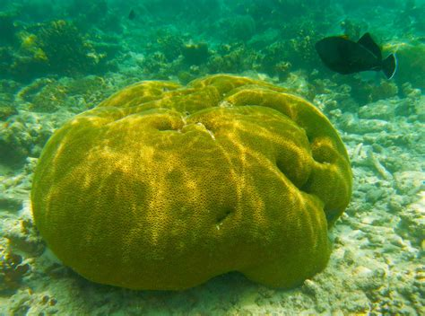types of coral maldives coral coco collection