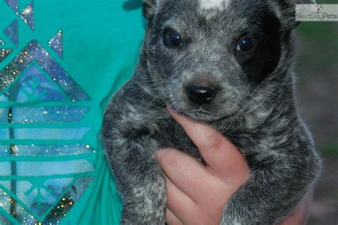 australian cattle puppies for sale near me australian cattle blue heeler puppy for sale near springfield missouri b33a0178