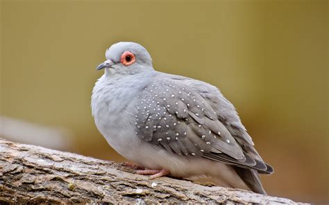 12 lovely hd dove bird wallpapers hdwallsource com