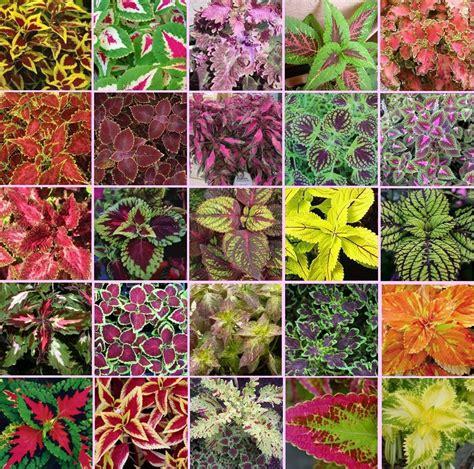 plants amp flowers 187 coleus blumei