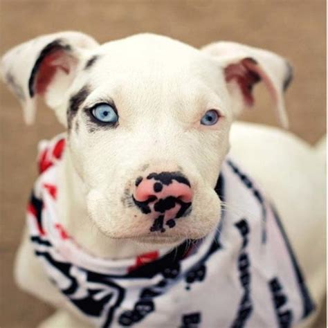 heterochromia in dogs heterochromia in animals