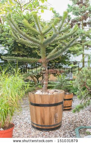 Garden Of Tree Crossword Monkey Puzzle Stock Images Royalty Free Images Vectors