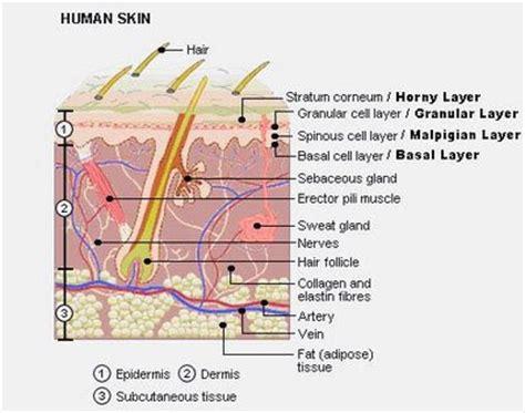 diagram of skin cell 2d labelled diagram skin cells