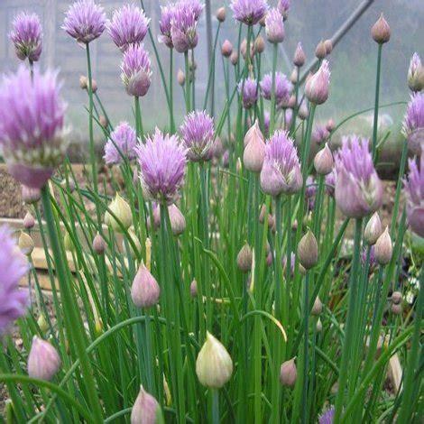 ufficio collocamento ancona erba cipollina in vaso 28 images erba cipollina forum