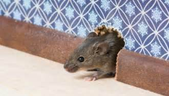 House mice vs deer mice how can i tell them apart and keep them out