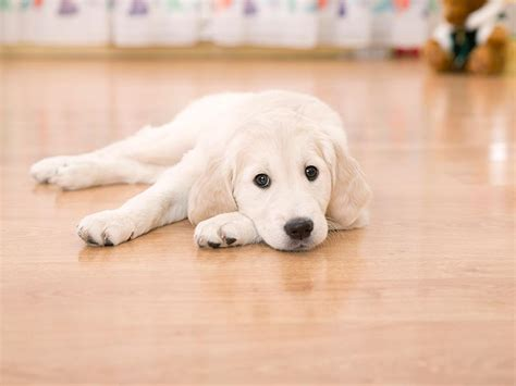 the best house dogs what is the best flooring for dogs and other rambunctious house pets pet friendly sites