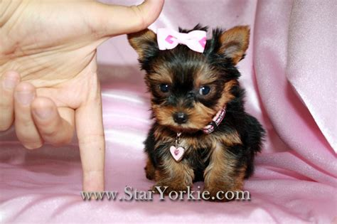 yorkie breeders in washington state teacup yorkies in los angeles
