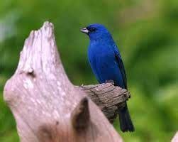 world beautiful birds indigo bunting birds interesting