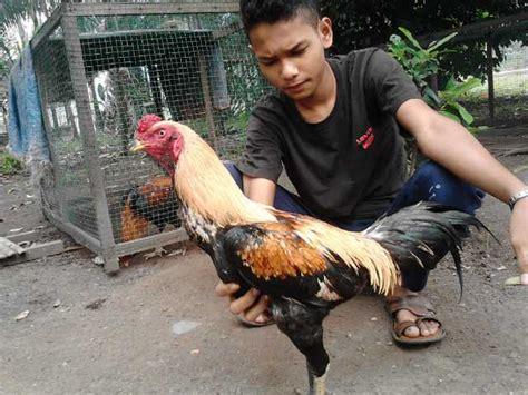 Obat Tradisional Stamina Ayam Bangkok cara mengobati sakit kuning ayam bangkok bacul obat