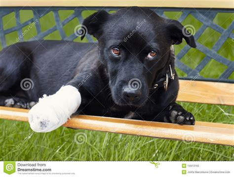 puppy broken leg with broken leg royalty free stock photo image 14913165