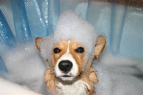 what is dogs in a bathtub tips for giving your dog a bath dog reflections