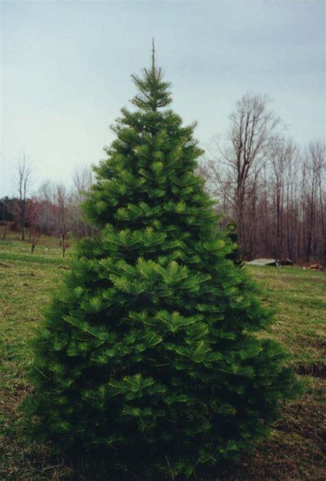 fir tree fir tree photos great fir tree pictures