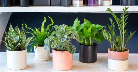nasa best plants 28 best air purifying plants for indoor outdoor