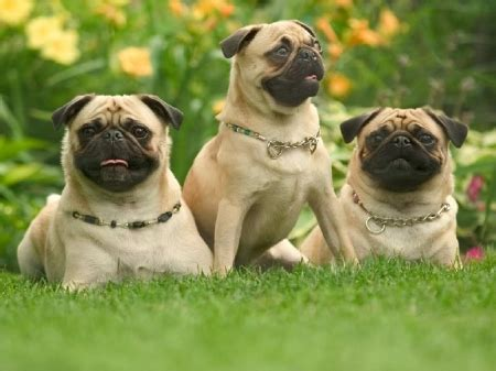 nature of pug pug dogs dogs animals background wallpapers on desktop nexus image 1188661