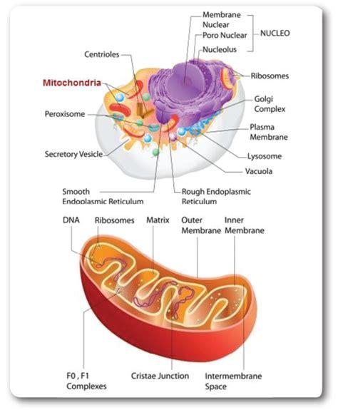 diagram of mitochondria mito organelle mo 2016 breakthrough
