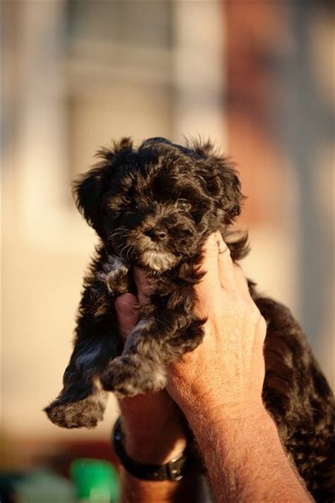 yorkies for sale in mcallen tx 444 best images about maltipoo on poodles maltese puppies and poodle mix