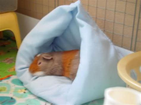 how to make a guinea pig bed 68 best guinea pig accessories images on pinterest guinea pigs guinea pig cages and