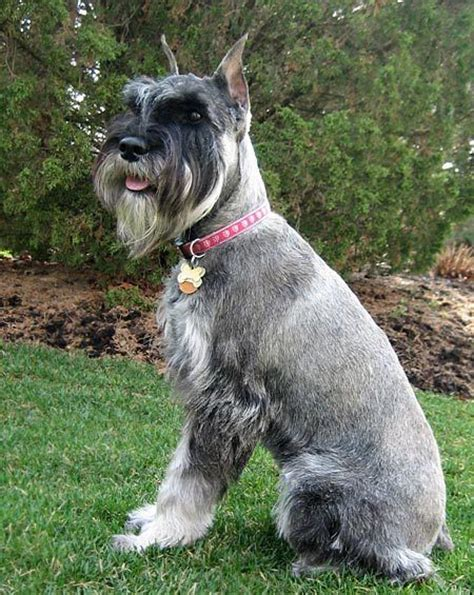 Standard Schnauzer Shedding by Standard Schnauzer Not In The Housenot In The House