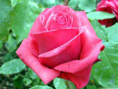 fiori nella pittura la rosa nella pittura