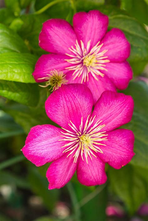 top  tips  growing gorgeous clematis vines page
