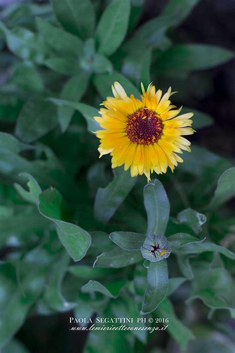fiori di calendula fiori commestibili quali sono i fiori eduli e come si