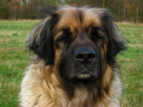 dogs with big heads leonberger animal canine pet big domain pictures free pictures