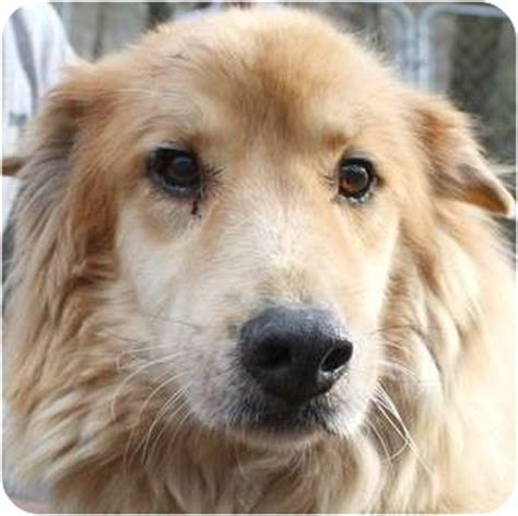 golden retriever rescue in va pet not found