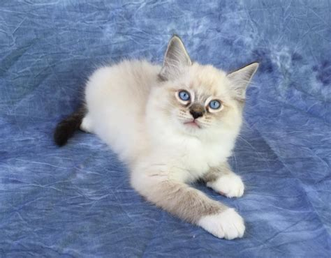 ragdoll cat colors ragdoll cat colors 28 images ragdoll cats in many