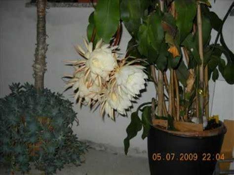 fiore di notte misterioso fiore di una notte