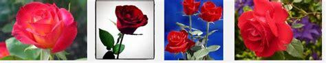 Mawar Clean cara merawat bunga
