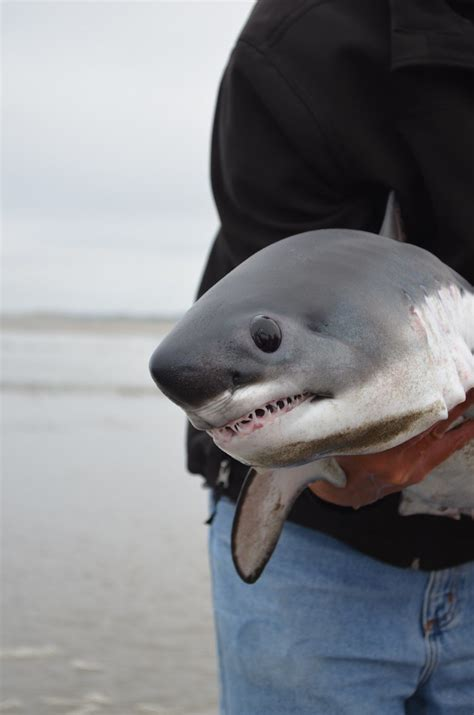 baby shark url baby shark baby shark and shark