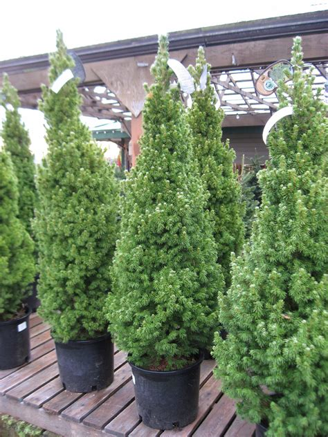 real christmas trees huntersgardencentre com