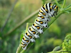 Bug Free Backyard Caterpillar Insect Insects And Bug