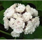 Clerodendrum Philippinum Fragrans