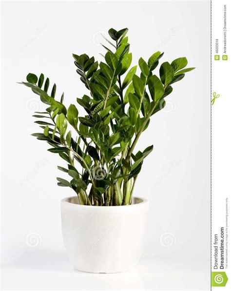 fiori di appartamento pianta da appartamento coltivata di zamioculcas fotografia